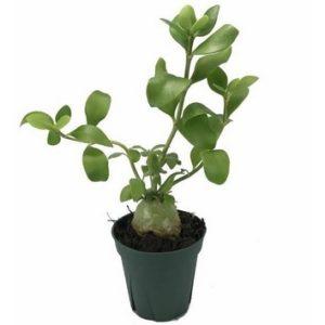 Hydnophytum sp. – Large leaf