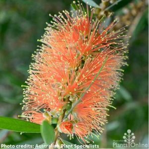 Callistemon tangerine dream