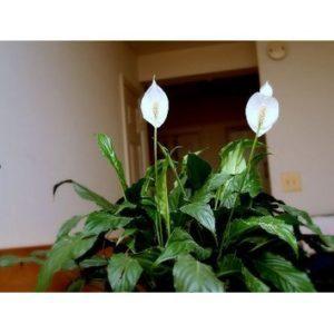 Spathiphyllum carlos
