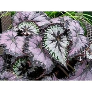 Begonia plum paisly