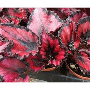 Begonia red robin