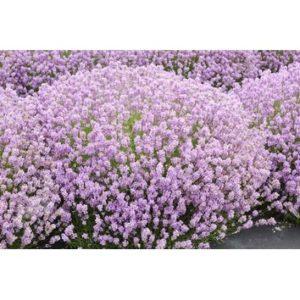 Lavandula angustifolia (pink)