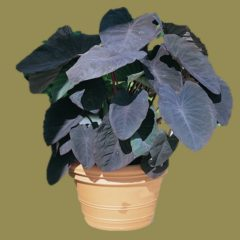 Colocasia esculenta – black magic