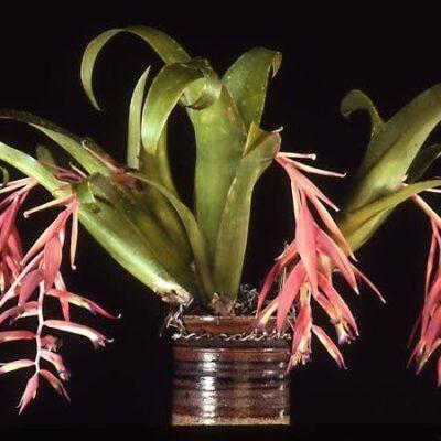 Billbergia iridifolia